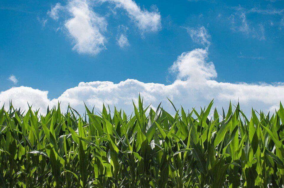 corn-field-440338_960_720