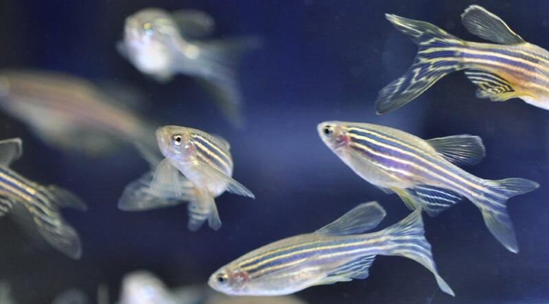 台大研究團隊首創全台第一個白血病斑馬魚疾病模型