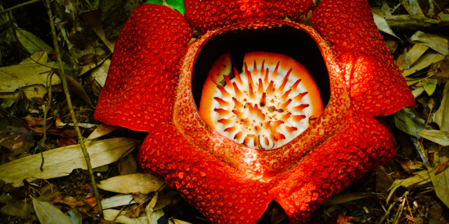 寄生植物的進擊:竊取宿主基因為一己之用