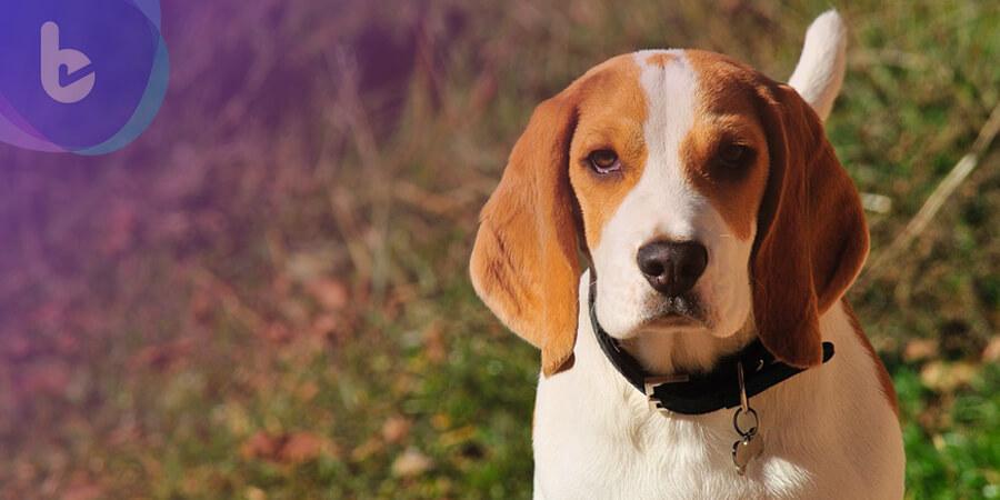 狗狗嗅覺強大敏銳 幫助揪出致病細菌