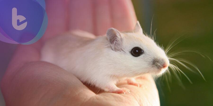 臍帶血活化老鼠記憶力 有望發展為治療心智功能衰退新藥