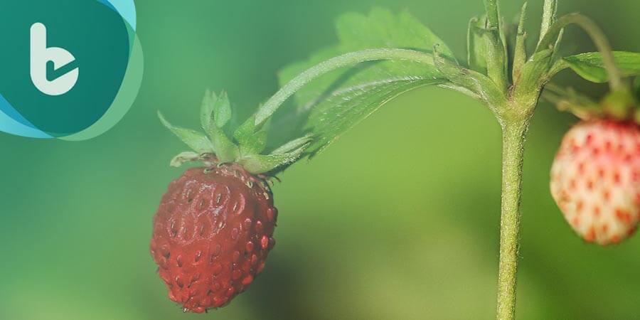 草莓族一點也不草莓族 吃草莓強身防癌又護眼